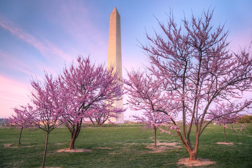 purple, trees, spring, washington monument, washington dc, sunset, clouds, weather, sky, trees, flowers, travel,