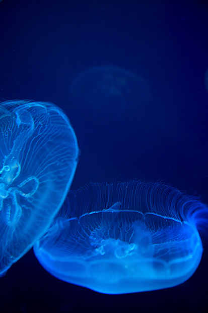 jelly fish, neon, glowing, aquarium, virginia, va,