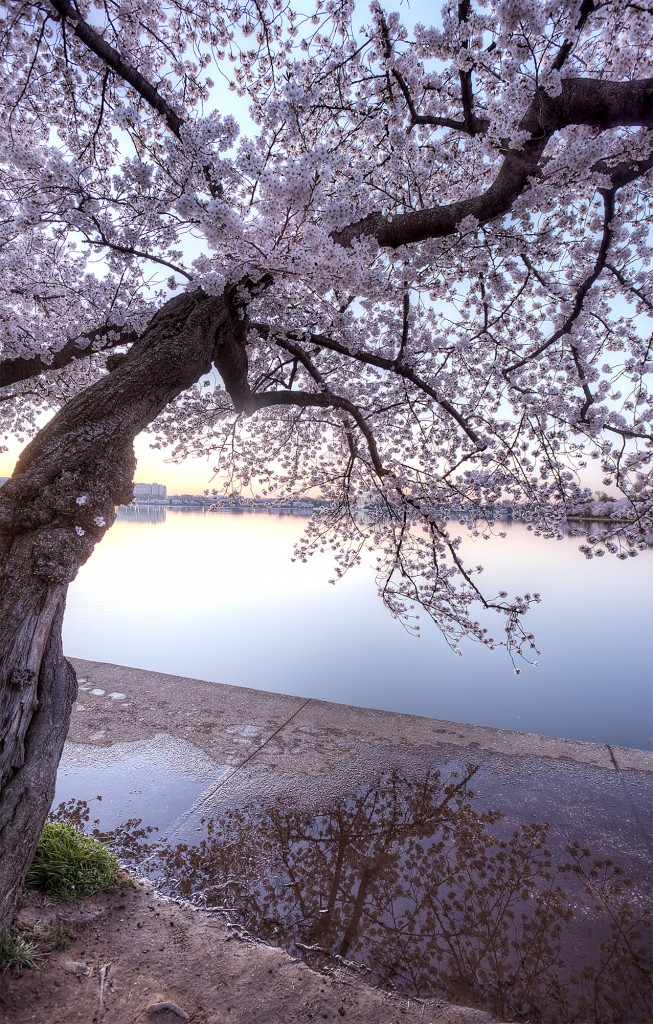 cherry blossoms, reflection, washington dc, sidewalk, tidal basin, sakura, flowers, puddle, rain, water, spring, tree,