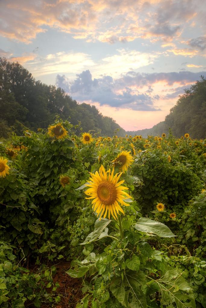sunflowers, maryland, sunset, landscape, mckee beshers, field,