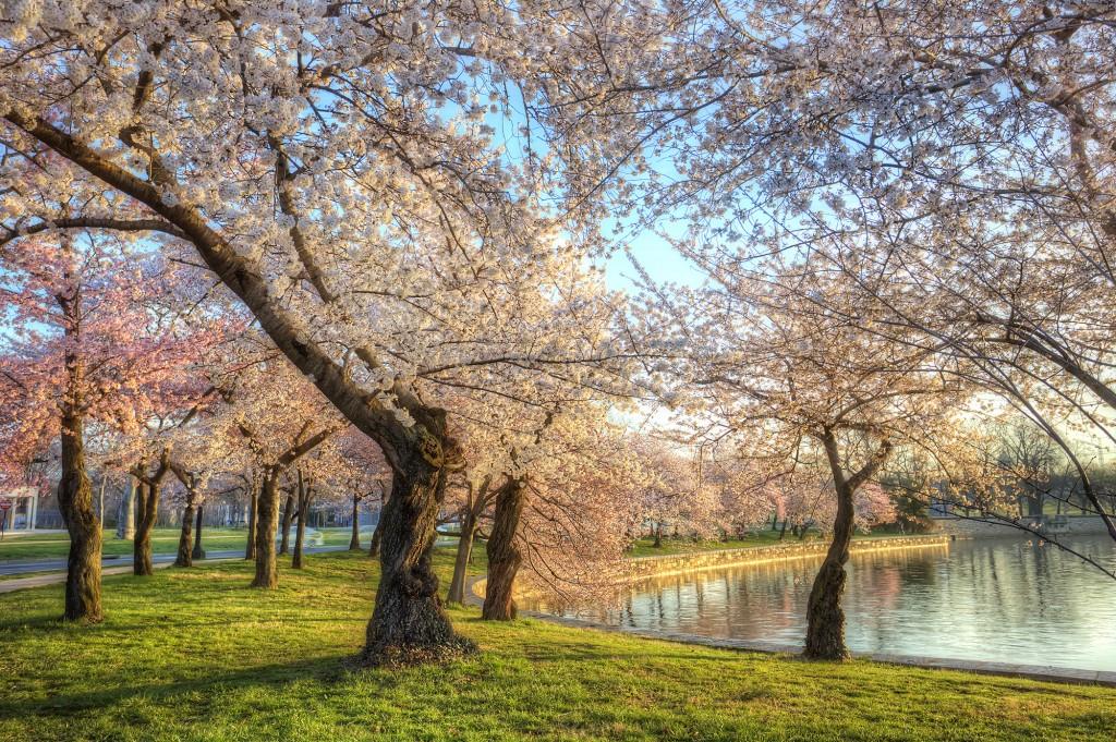 cherry blossoms, tidal basin, trees, japanese, sakura, washington dc, sunrise, spring,