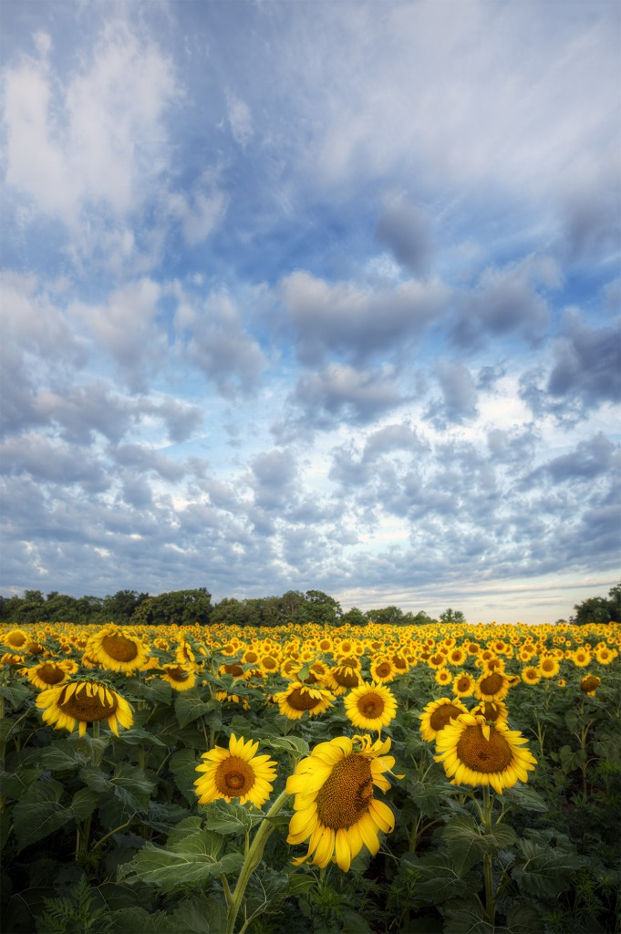 sunflowers, sunflower field, flowers, sunrise, clouds, weather, maryland, md, mckee beshers, wildlife, hdr, photography, photo, america, travel,