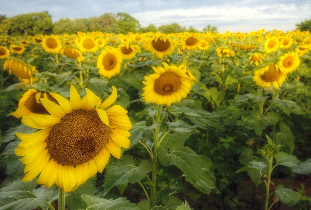 sunflowers, sad, wilting, sunrise, morning