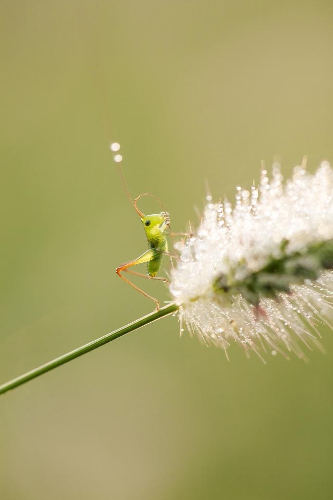 grasshopper, macro, droplets, water, drinking, close up, baby, virginia, va,
