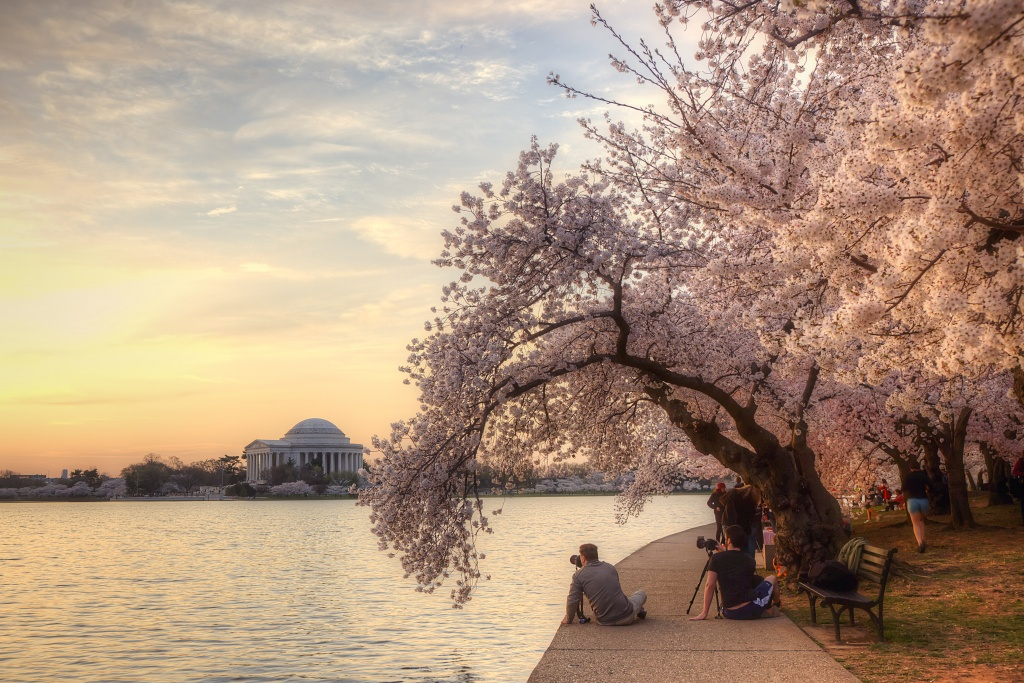 cherry blossoms, tidal basin, photographers, sunrise, jefferson memorial, washington dc, trees,