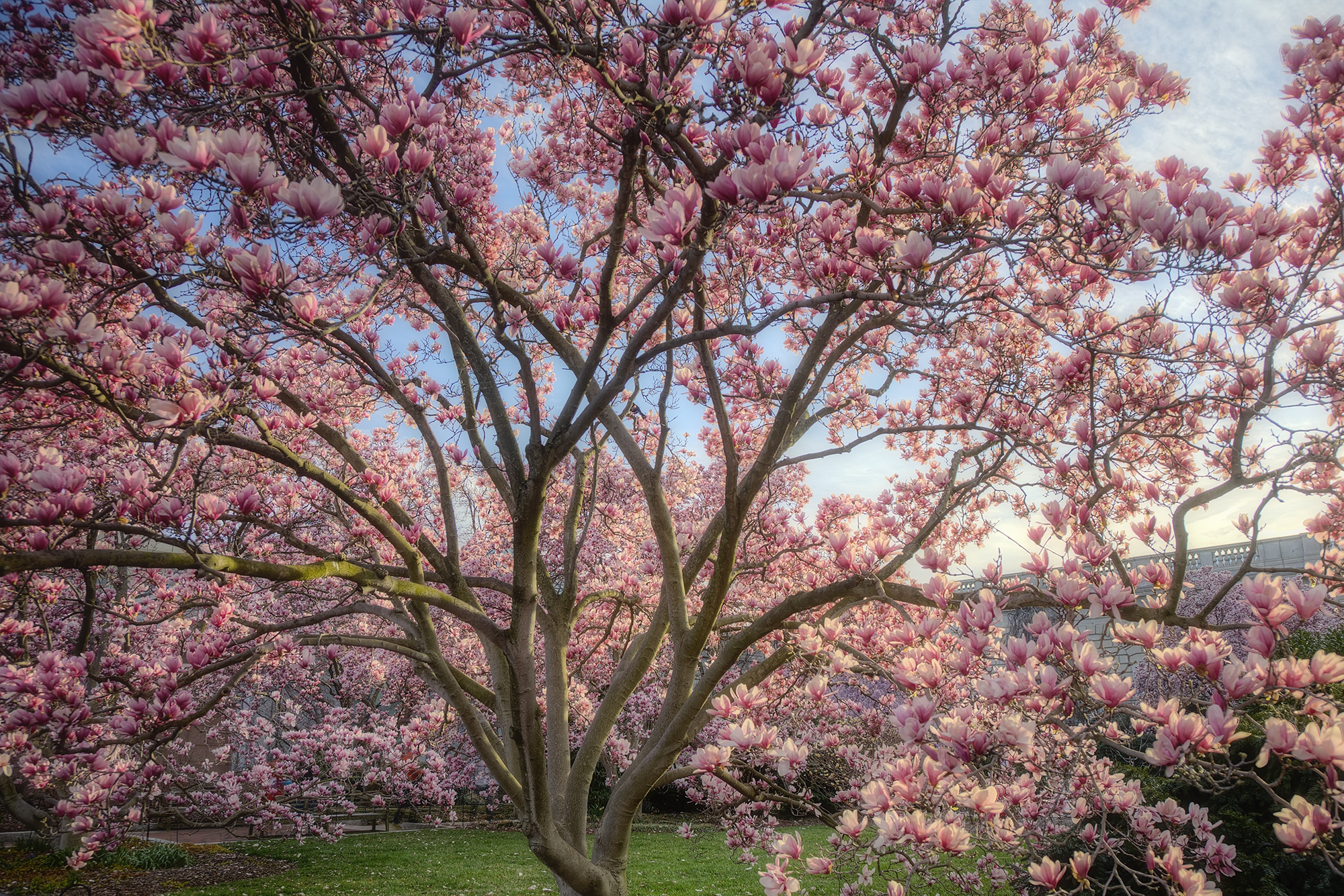 Magnolia Tree Smithsonian Gardens