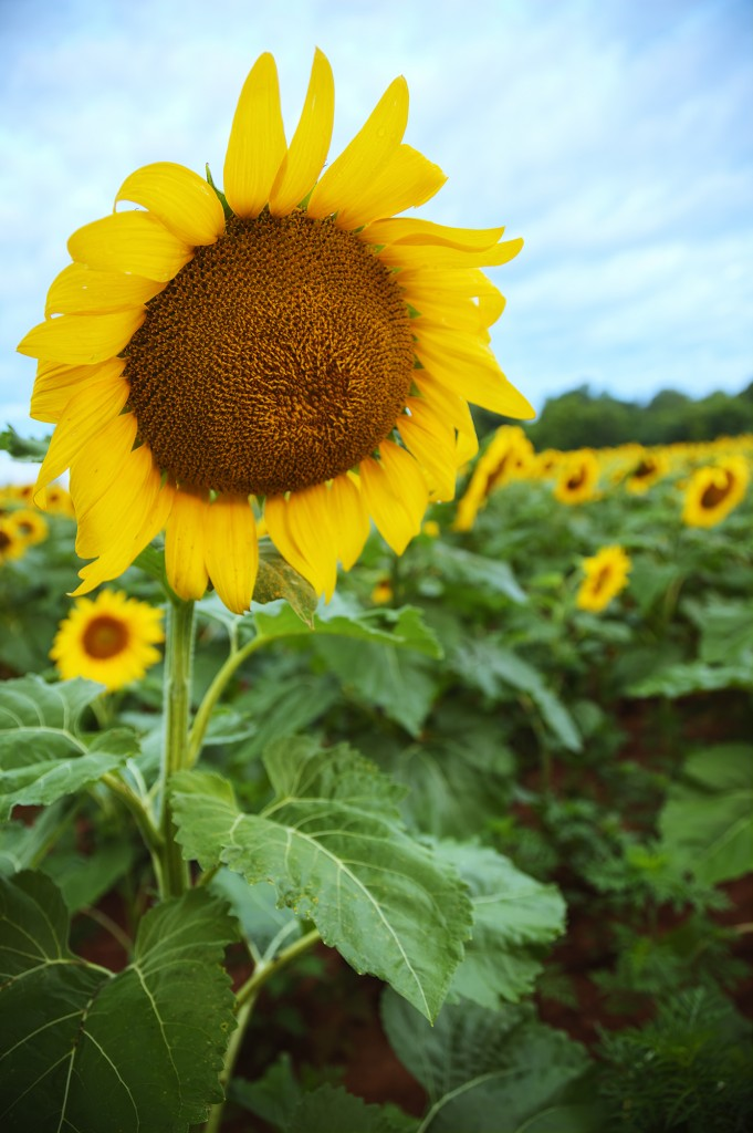 sunflower, sunflower field, maryland, md, sunrise, flower, hdr, summer, weather, usa, america, mckee beshers