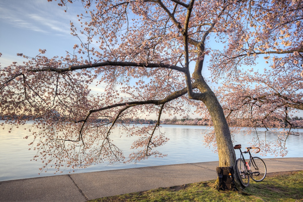 cherry blossoms, bike, fitness, dc, fittest city, washington dc, tidal basin, early morning, tree, sakura