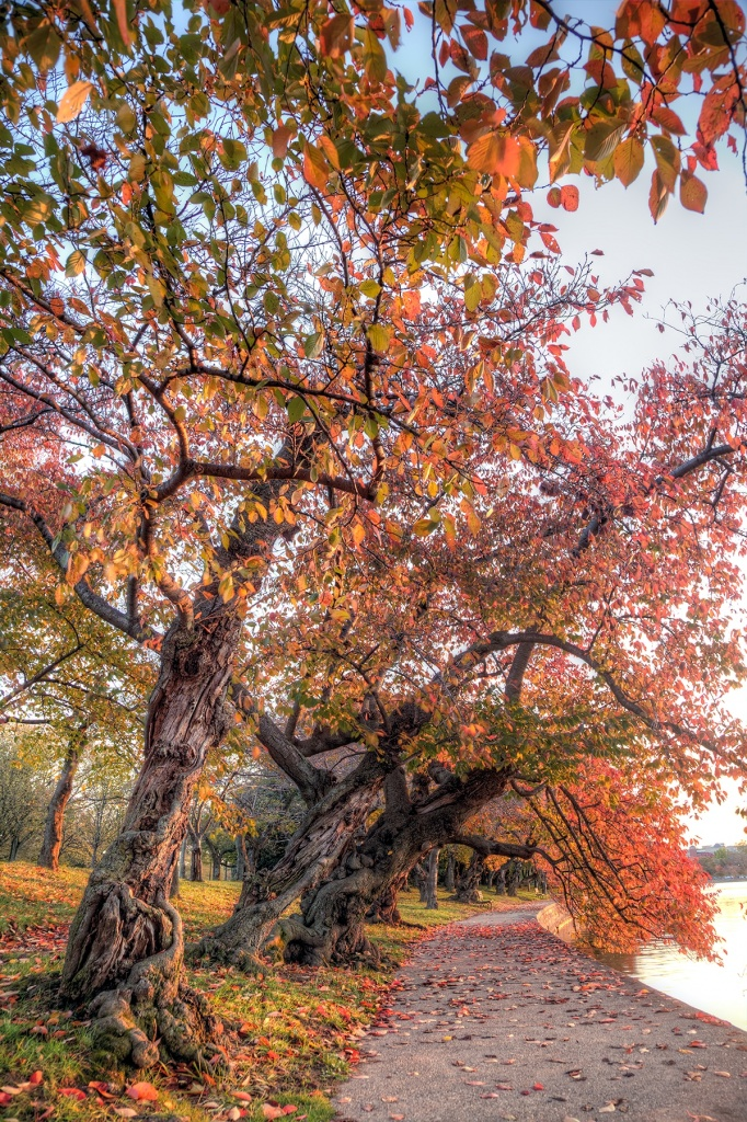 tidal basin, washington dc, autumn, fall, colors, trees, cherry blossom, fall, leaves, water, reflection, travel