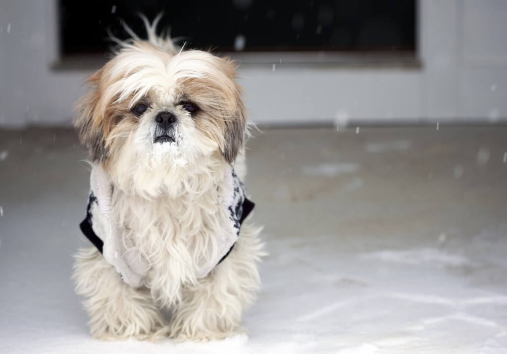 frankenstein woopan, shih tzu, snow, winter, over it, dogs, cutie bear