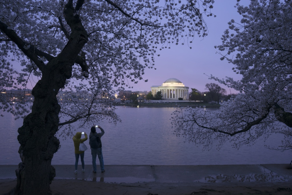 cherry blossoms, tidal basin, photographers, early morning, glow, purple, jefferson memorial, sakura, japanese gifts, washington dc, memorial, early morning,
