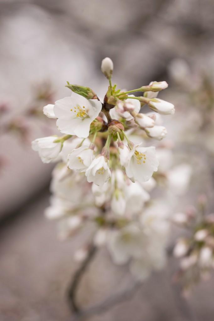 sakura, cherry blossoms, flower, macro, close up, washington dc, branch, spring