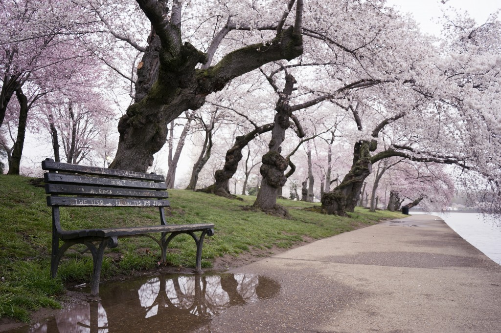 clouds, rain, grey, mist, weather, spring, flowers, blooms, tidal basin, washington dc, cherry blossoms, trees, japan, gift, visit dc, bench, sakura