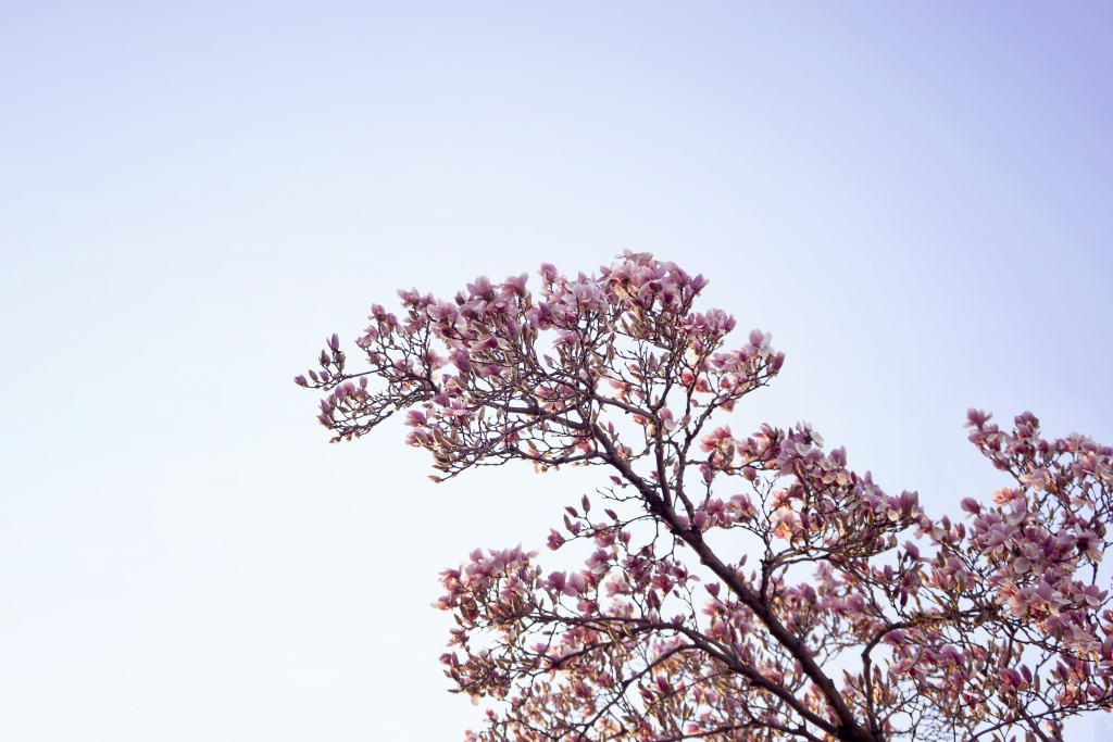 magnolia tree, spring, flowers, pink, washington dc, branch, simple