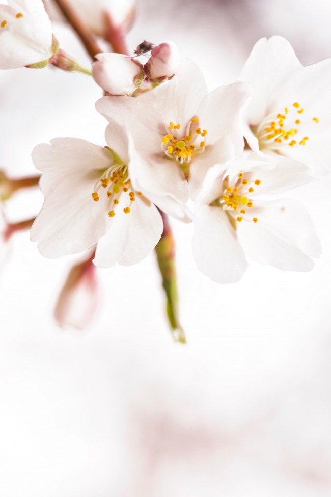cherry blossoms, flowers, macro, bug, washington dc, sakura, japanese, flowers,