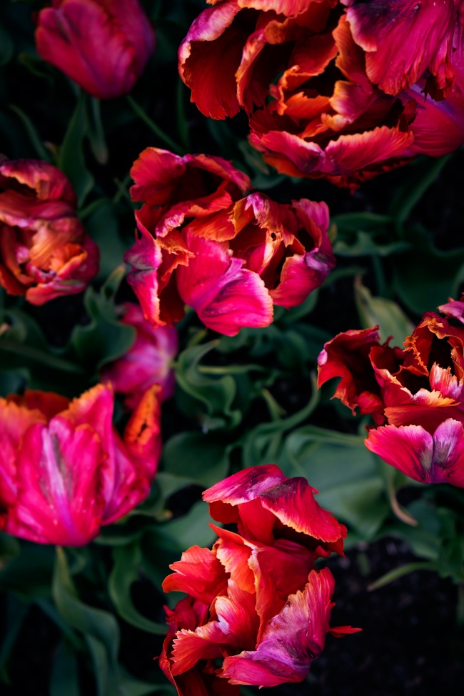 tulips, washington state, colors, red, wilting, blooming, flowers, macro,