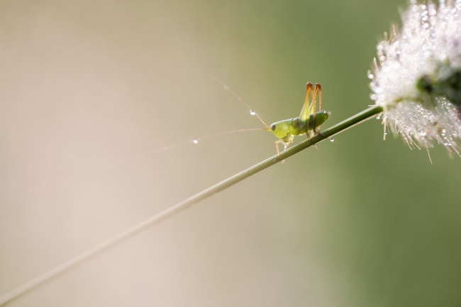 grasshopper, rain, macro, insect, bug