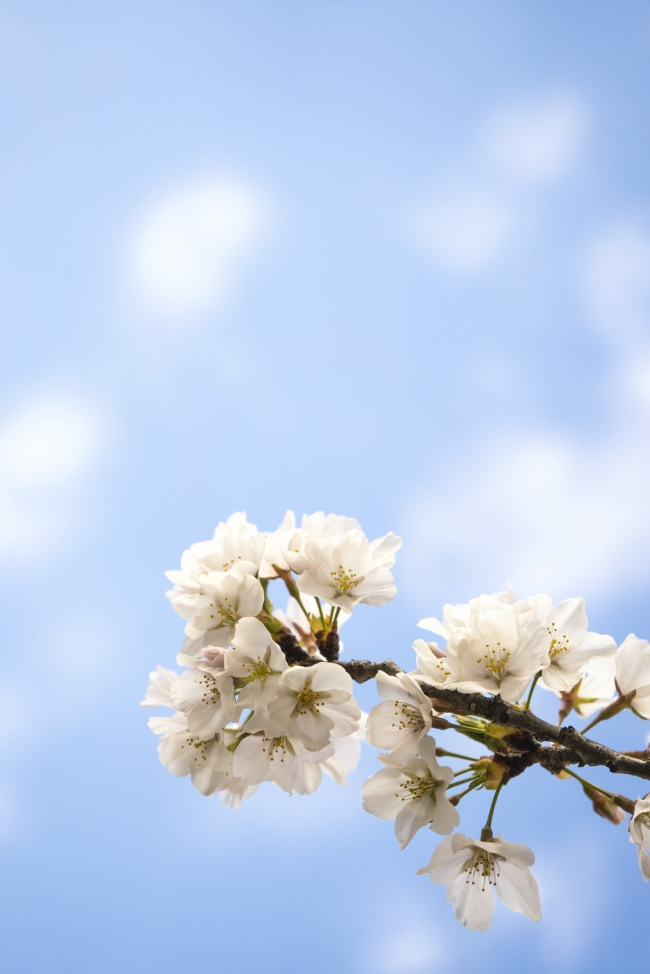 cherry blossoms, macro, branch, festival, blue, sakura, washington dc, flower, tree