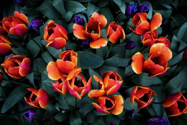 orange, yellow, tulips, flowers, macro,