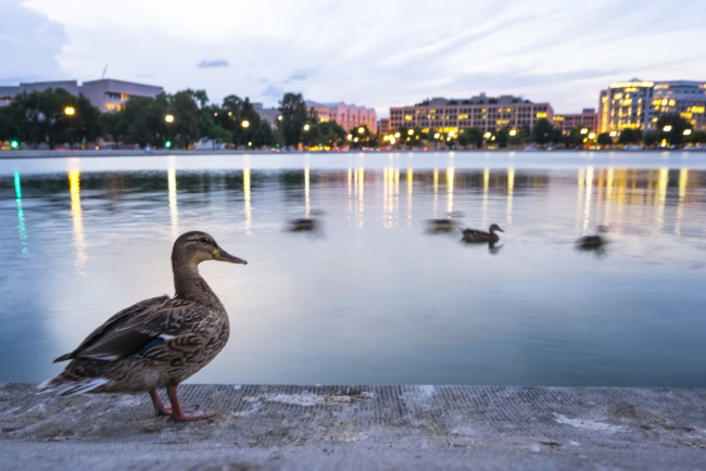duck, ducks, washington dc, capitol, us, usa, reflection pool, sunset,