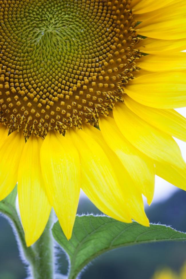 sunflower, yellow, macro, close up, flower, summer,