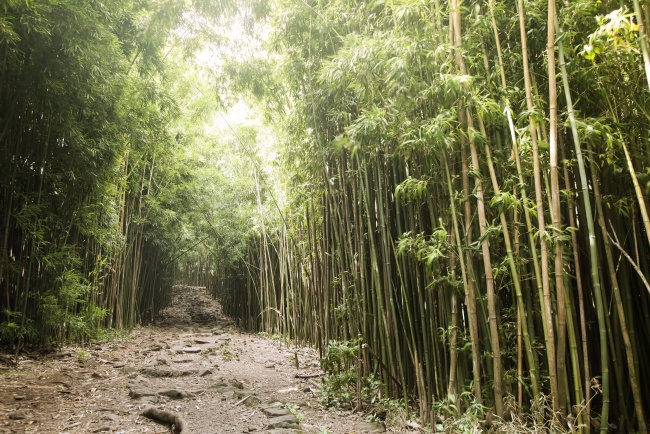 bamboo, forrest, path, hike, trail, hawaii, maui, vacation, honeymoon