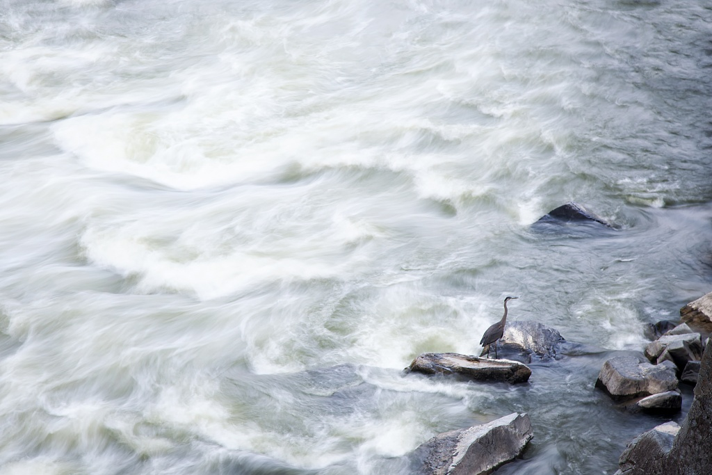 blue heron, virginia, va, birds, photography, great falls, water, rocks, landscape,