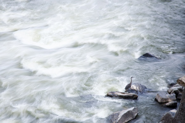 blue heron, virginia, va, birds, photography, great falls, water, rocks, landscape,