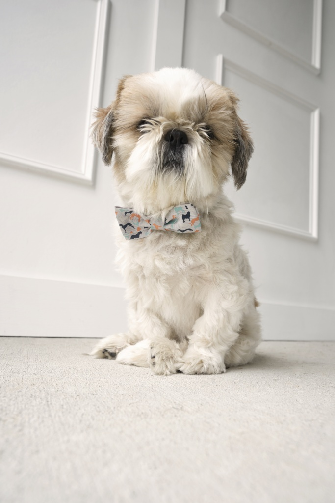 frankenstein, frankie, shih tzu, puppy, dog, birthday