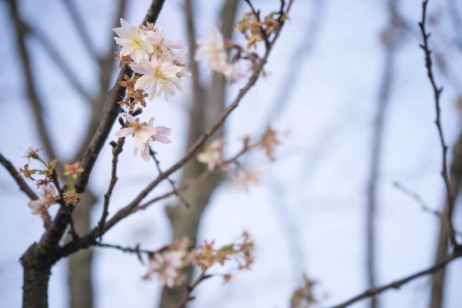 cherry blossoms, spring, winter, trees, washington dc, trees, flowers, the mall, national mall