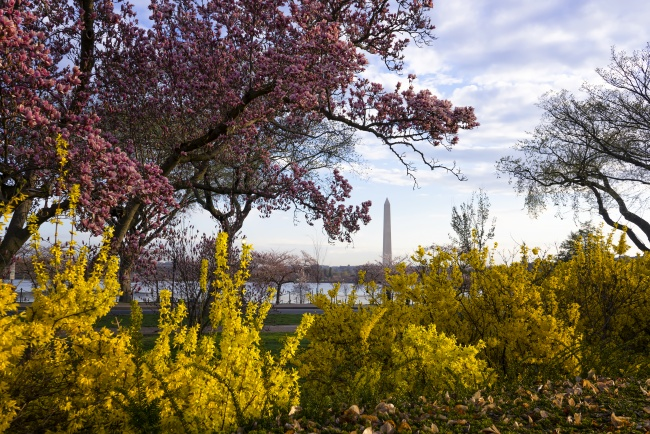 washington monument, washington dc, spring, trees, george mason, memorial, monument, trees, plants, life,