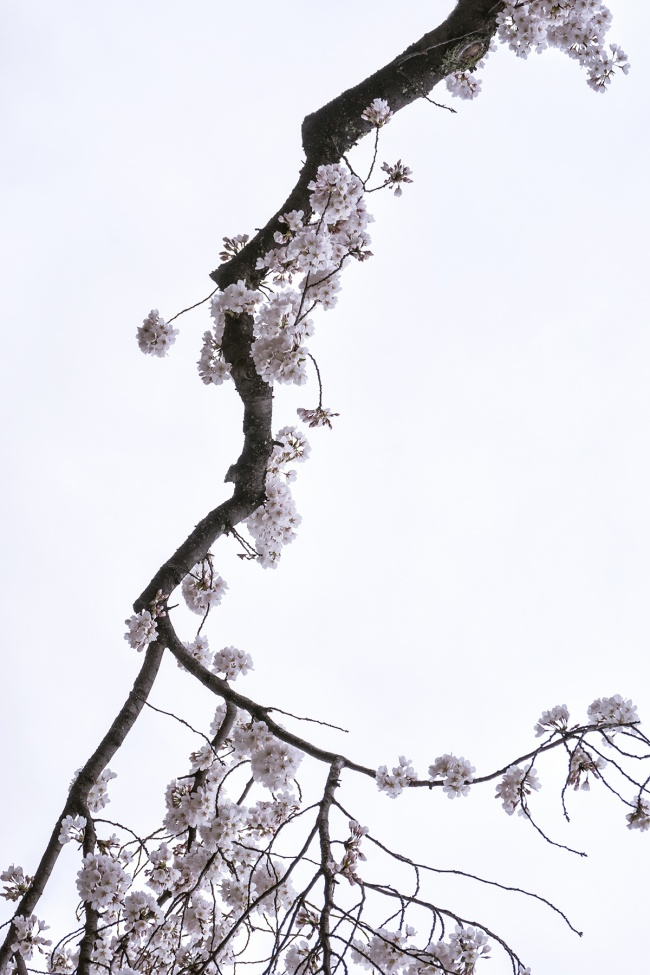 cherry blossoms, tree, branch, spring, washington dc, flower, sakrua, tree, looking up, japanese