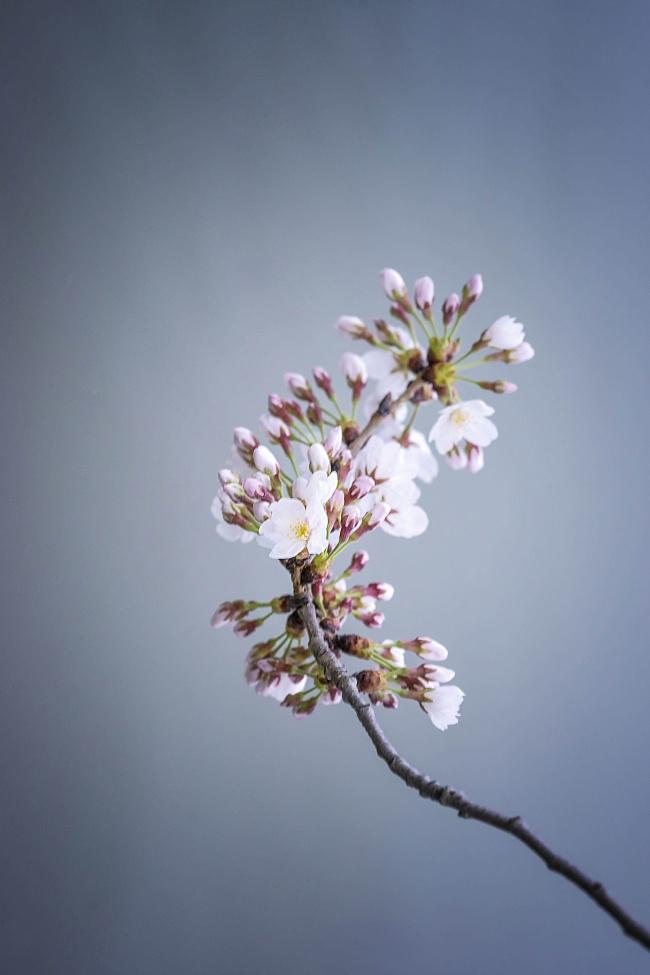 cherry blossom, branch, tree, japanese, sakura, simple, seeing, flowers, buds, tidal basin, washington dc,