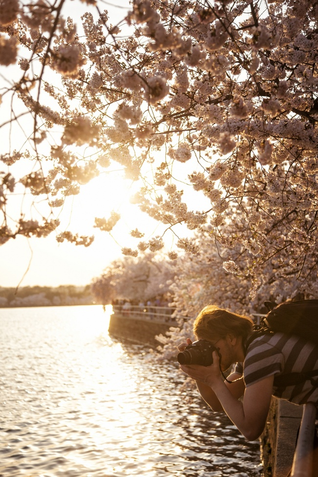 cherry blossoms, tidal basin, washington dc, sunset, flowers, sakura, visit, spring, travel, photographer, photography, washington dc,