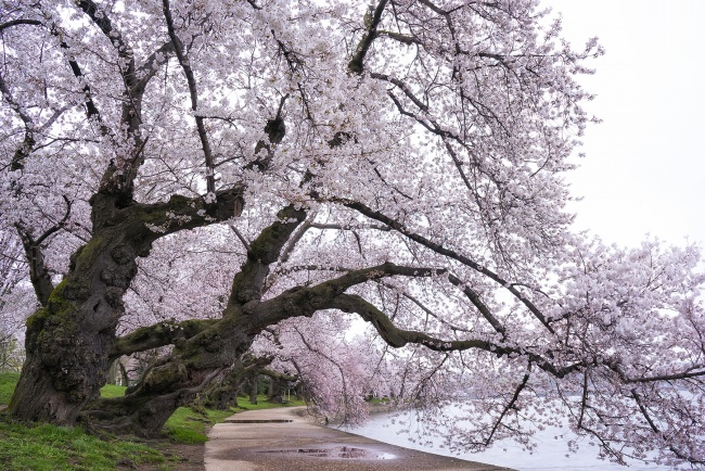cherry blossoms, photo tips, washington dc, sunrise, go early, moody, puddle, washington dc, photo, tips, photography, photographer, sunrise