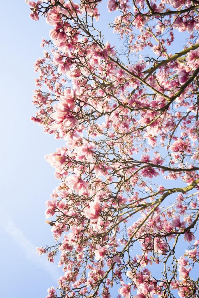 magnolia, tree, flower, spring, pink, japanese,