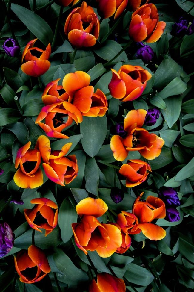 tulips, seattle, washington state, red, flowers, shapes, skagit valley, tulip festival, northwest, washington state, spring
