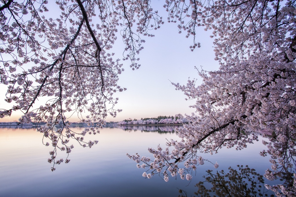 washington dc, cherry blossoms, flowes, sakura, tidal basin, sunrise, early morning, visit, spring, best time in dc, where to see cherry blossoms, trees,