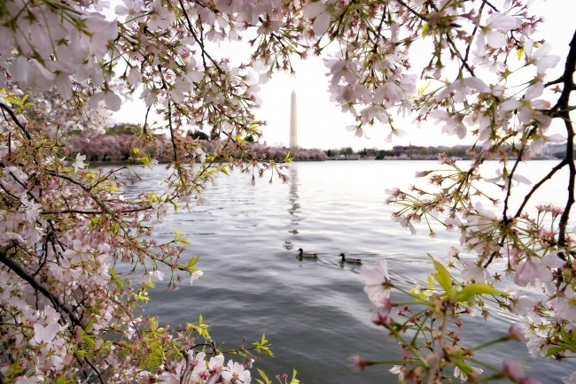 washington dc, cherry blossoms, washington monument, tidal basin, spring, flowers, sakura, pink, ducks, water, reflection, festival, visit, travel