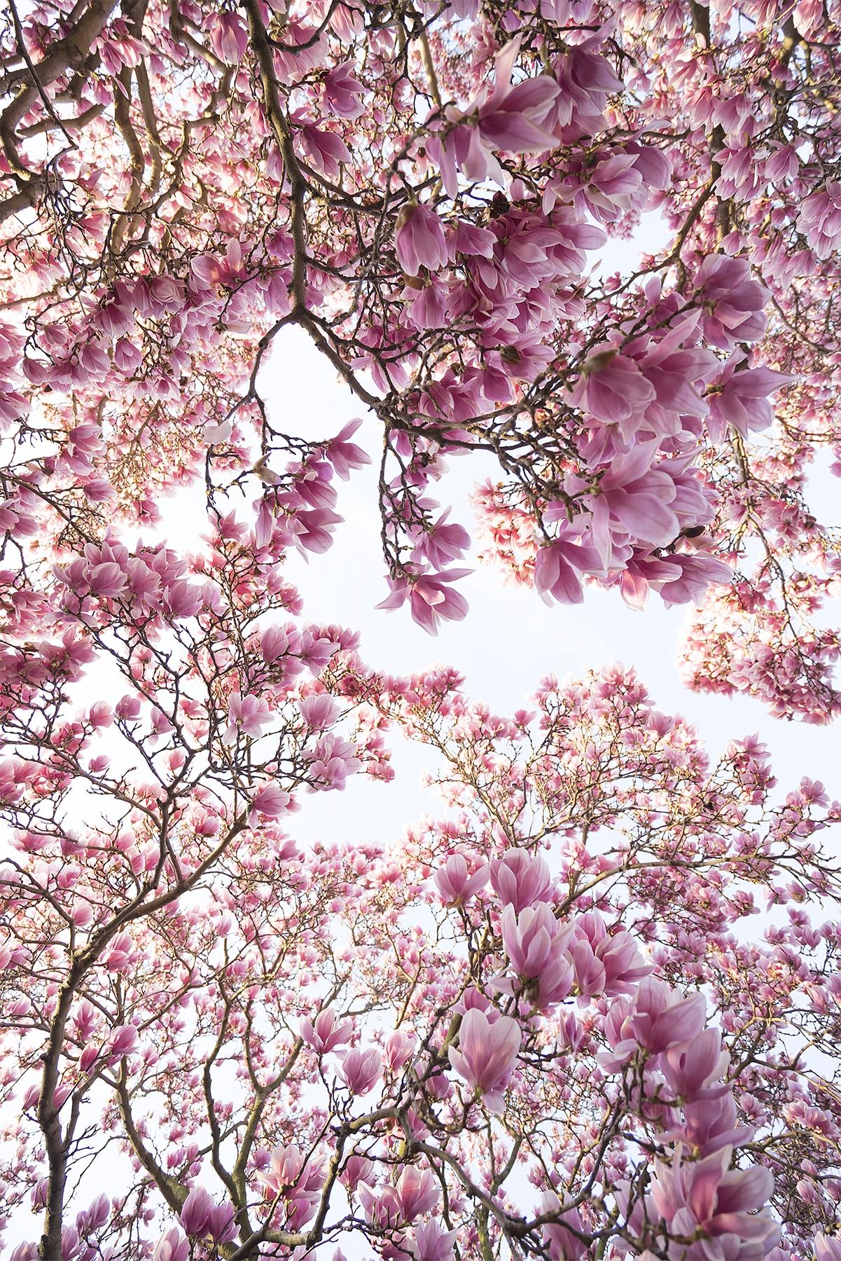flowers, pink, tree, magnolias, smithsonian, garden, look up, dream,