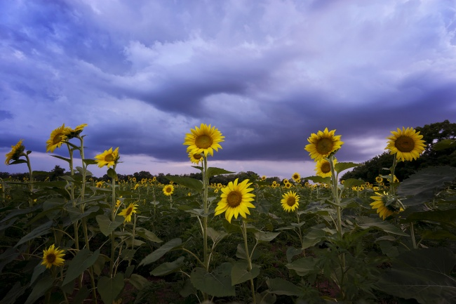 mckee beshers, sunflowers, sunflower field, summer, flower, sunset, storm, clouds, yellow, maryland,