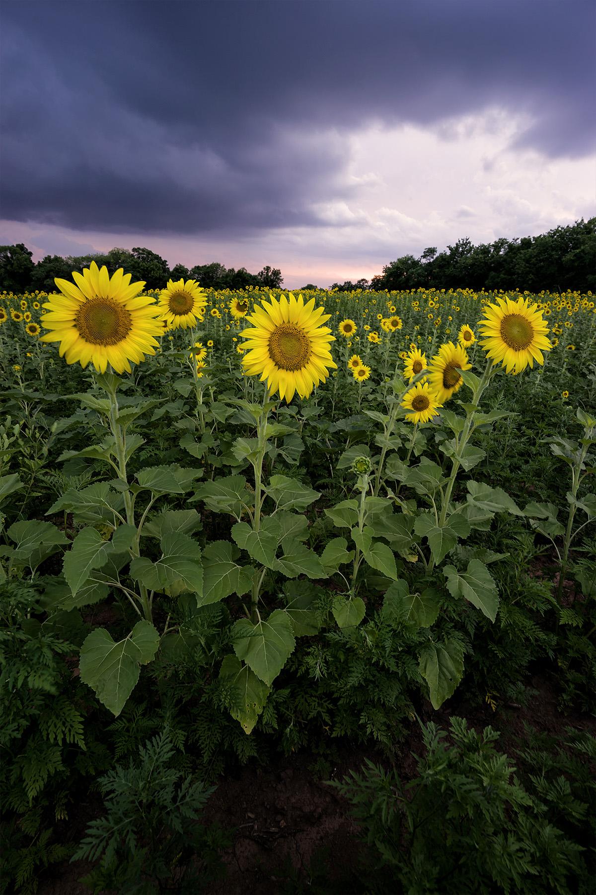 sunflower, sunflower fields, sunflower seeds, maryland, ms, mckee beshers, yellow, sunset, poolesville, summer, clouds, storm