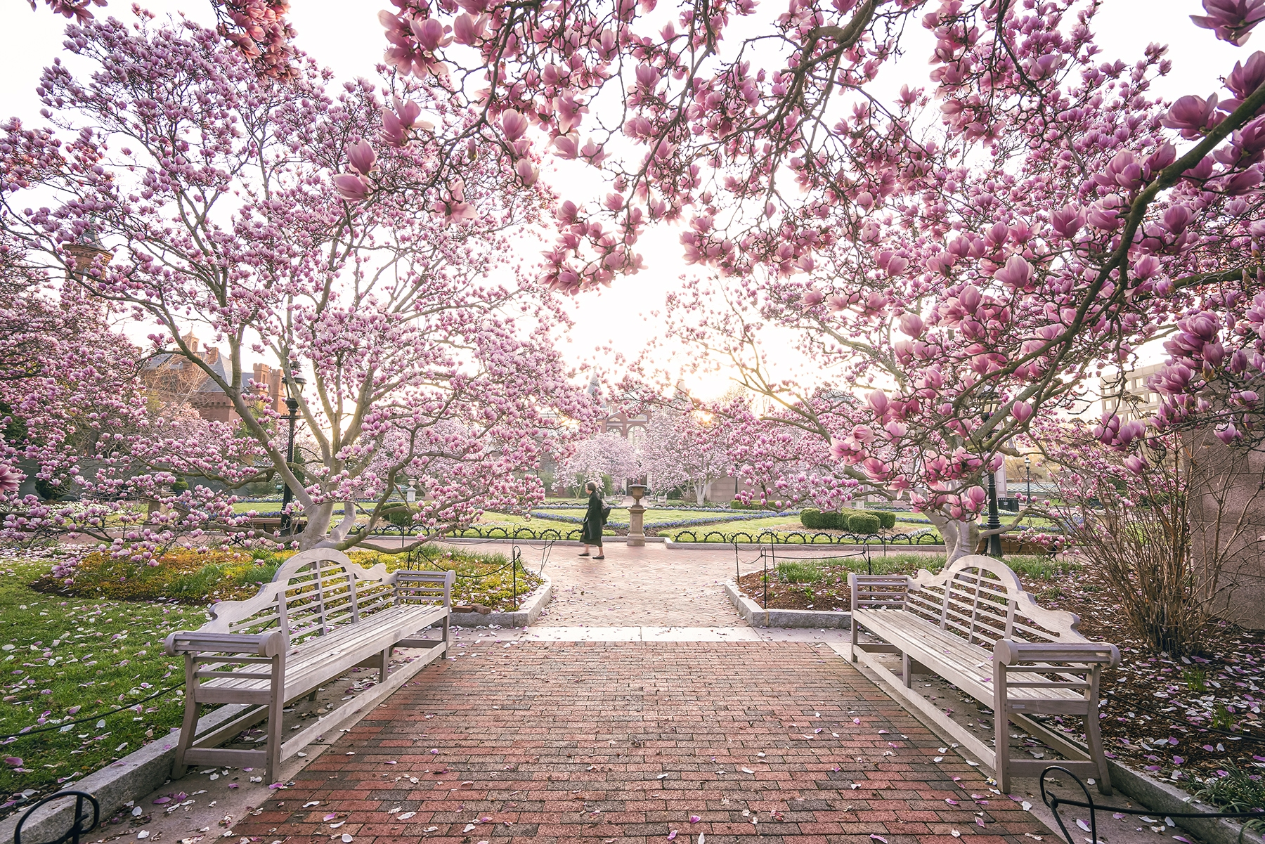 smithsonian gardens, smithsonian institution, washington dc, landscapes, interior scapes, horticulture, collections and exhibits, national mall, constitution ave, outdoor gardens, magnolias, pink, trees,