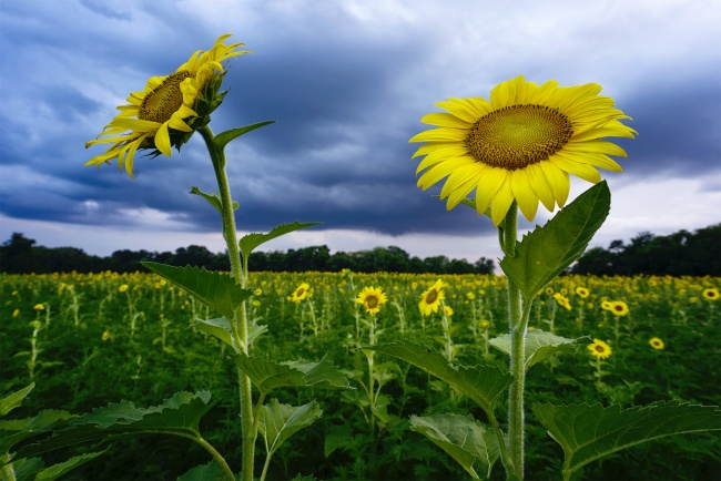 mckee beshers, sunflowers, sunflower field, sunset, praise hands, emoji, maryland, md, summer, storms, clouds,