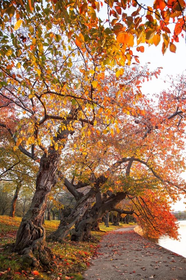 tidal basin, fall, autumn, leaves, changing, orange, tidal basin, washington dc, early morning, changing, seasons,