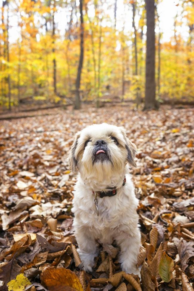 frankenstein, woopan, virginia, va, great falls, scotts run park, trees, changes, east coast, united states, fall, autumn, shih tzu, bear, dog, puppy, cute,