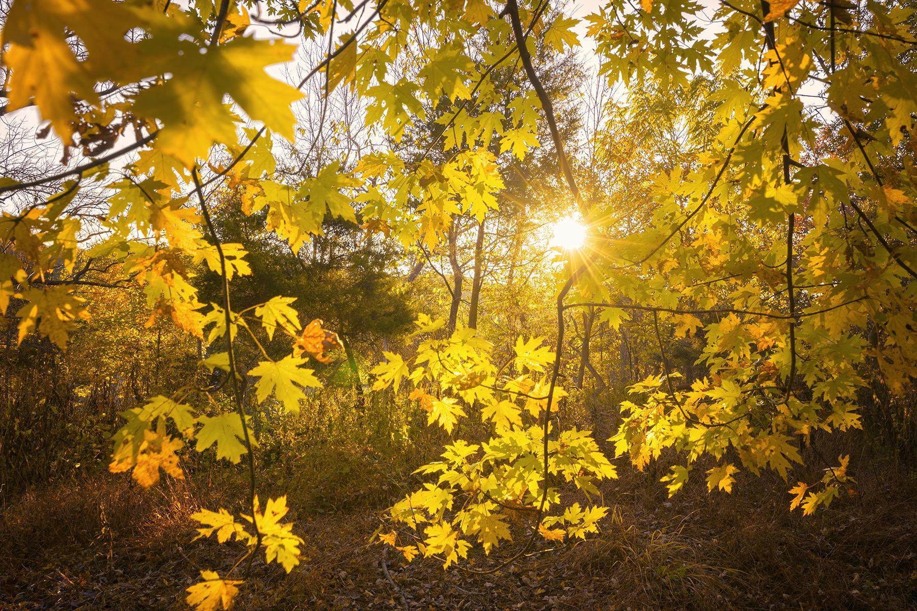 fall leaves, great falls, yellow, golden, sun burst, virginia, autumn, fall foliage,