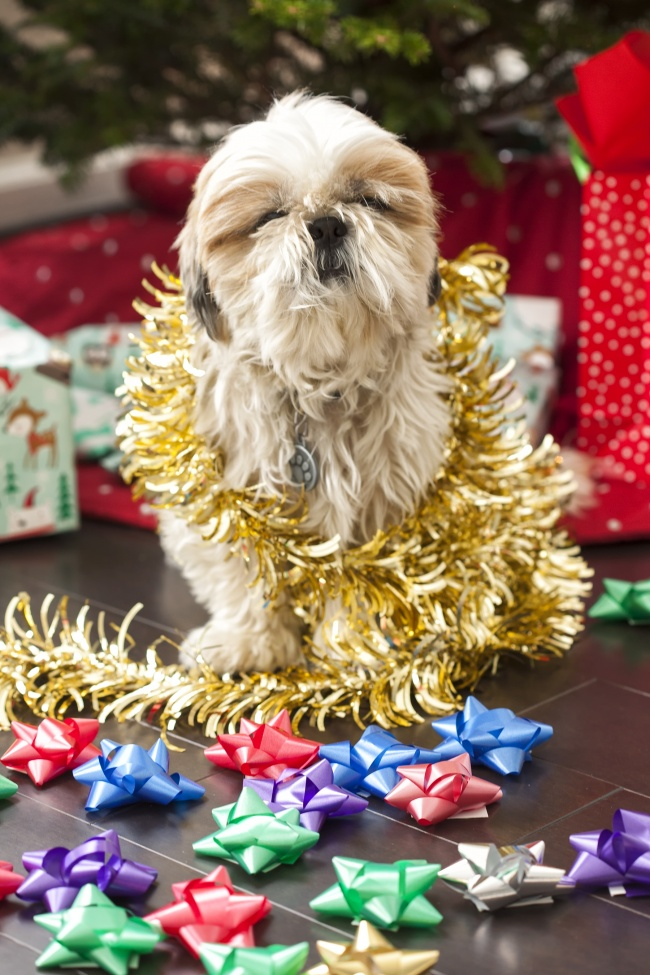 frankenstien, woopan, shih tzu, dog, christmas, tinsel, bows, presents, holidays, dogs, cute, christmas tree, presents, gifts