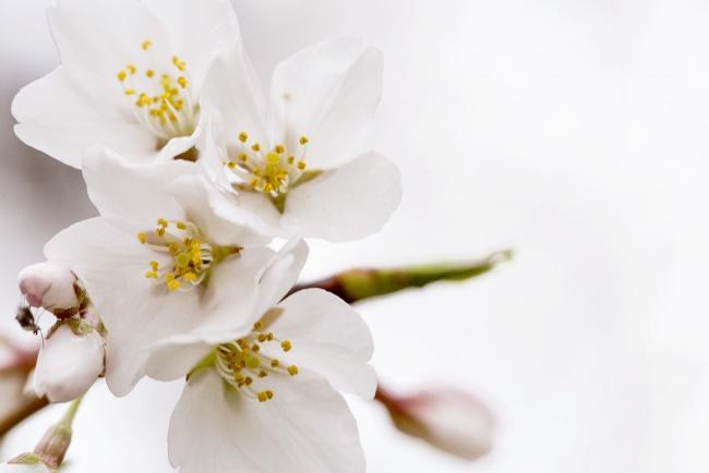 cherry blossoms, sakura, washington dc, cherry trees, tidal basin, spring, flowers, pollen, fly, close up