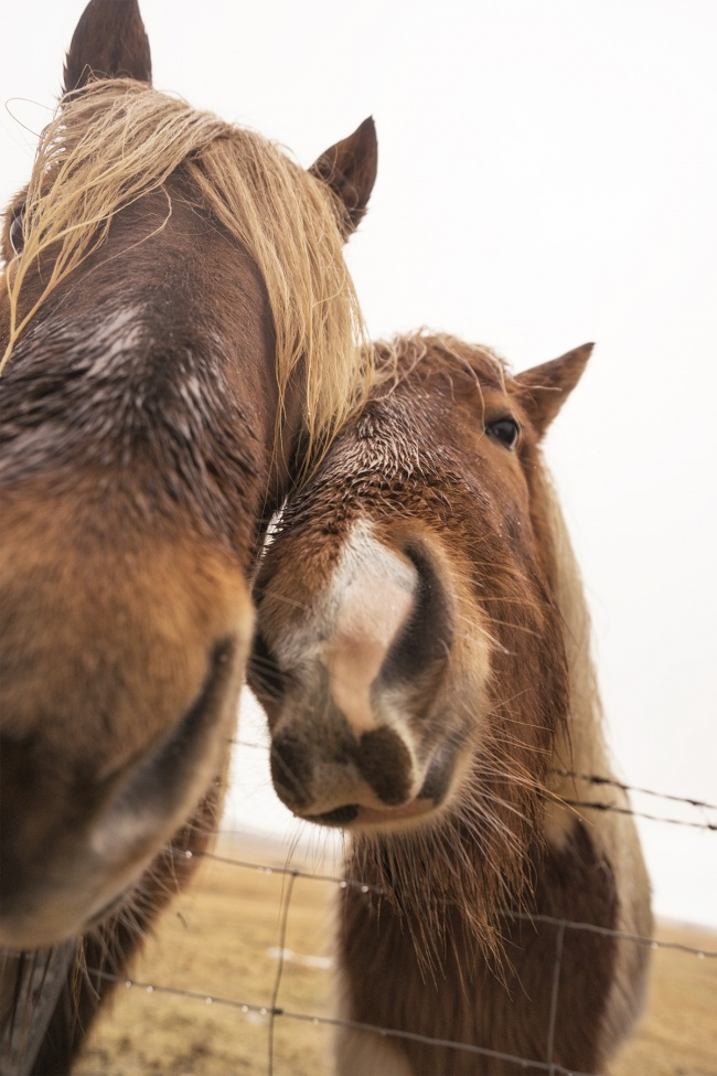 iceland, travel, horses, icelandic, island, travel, wind, winter, rain, airplane, golden circle, Reykjavik, fences, road trip, driving, short, hairy, 16-35mm, wide angle, 70-200mm, zoom, sony
